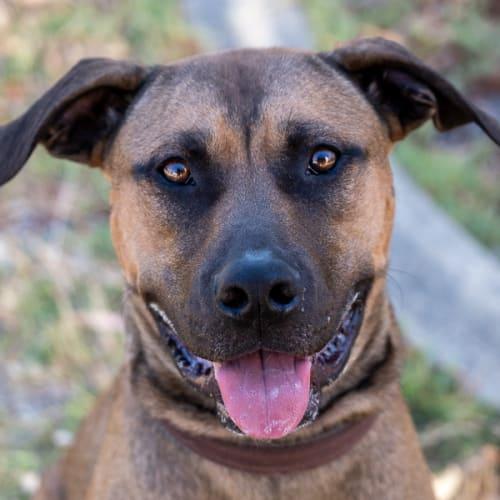 Joey DL2207 - Mastiff Dog