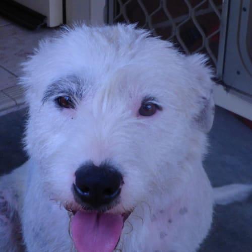 Gina - Irish Wolfhound Dog