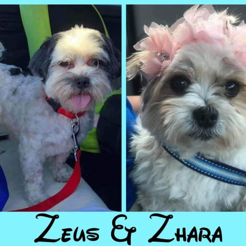 Zhara & Zeus 🥰 - Maltese x Shih Tzu Dog