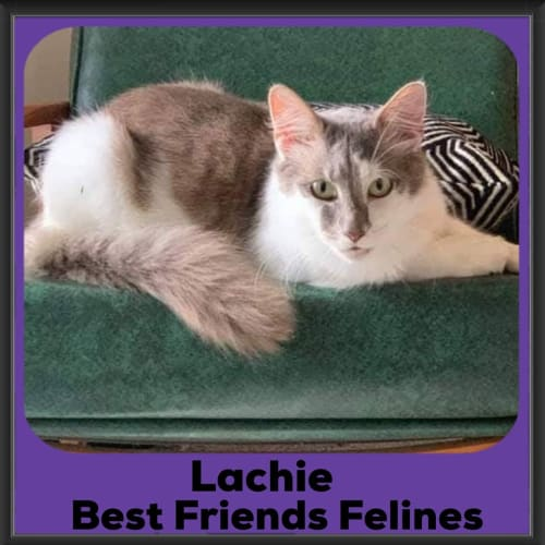 Lachie - Domestic Medium Hair Cat