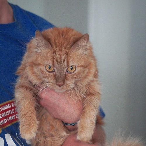 Princess Peanut ~ 6 yr old female cat - Domestic Medium Hair Cat