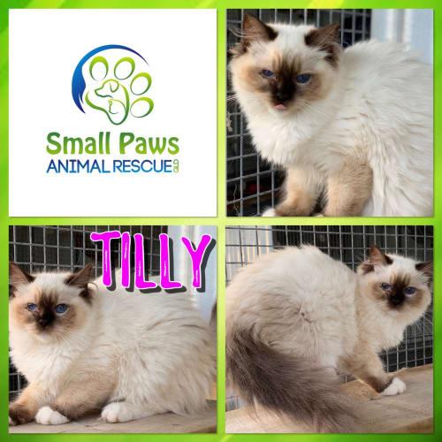 Tilly - Ragdoll Cat