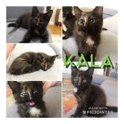 Kala - Domestic Medium Hair Cat