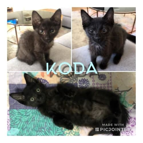 Koda - Domestic Short Hair Cat
