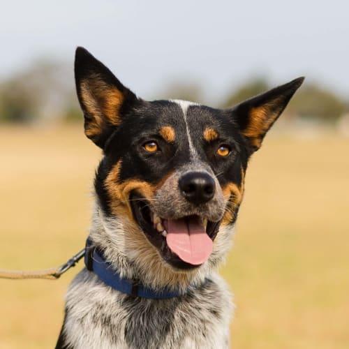 Diesel ~ 2yo Cattle Dog X Kelpie - Australian Cattle Dog x Kelpie Dog