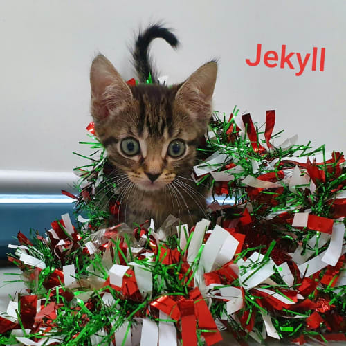 Jekyll - Domestic Medium Hair Cat