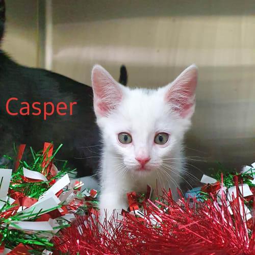 Casper - Domestic Medium Hair Cat