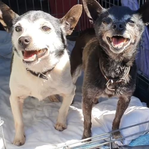 Buzzy and Bindi Baskerville - Fox Terrier x Chihuahua Dog
