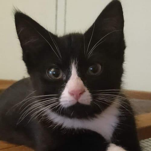 Lolite - Domestic Short Hair Cat