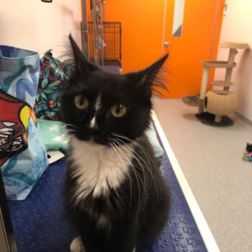 Trinnie - Domestic Long Hair Cat