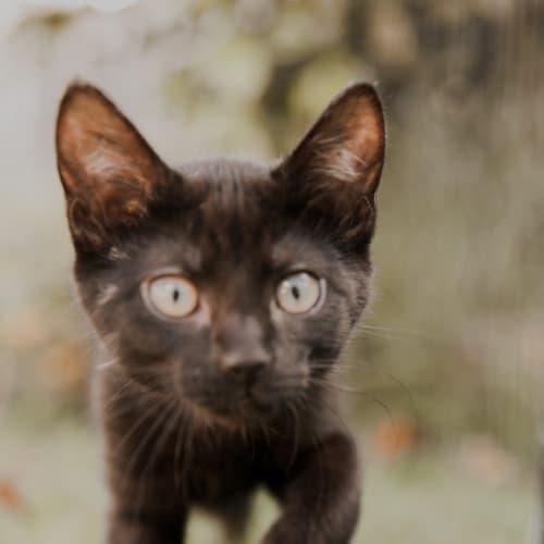 Miney - Domestic Short Hair Cat