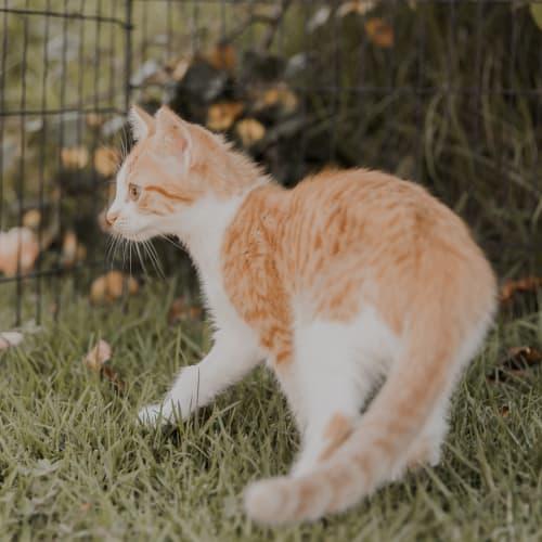 Turnip - Domestic Short Hair Cat