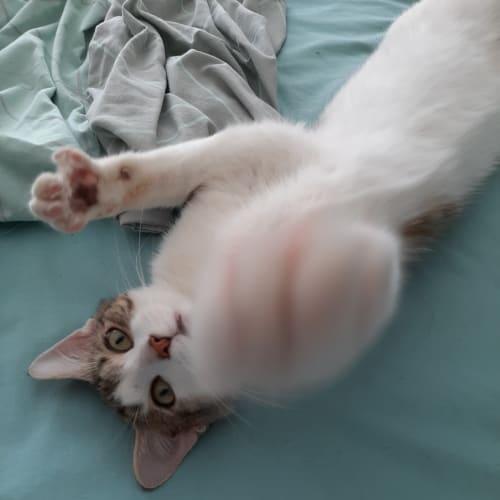 Pepito  - Domestic Short Hair Cat