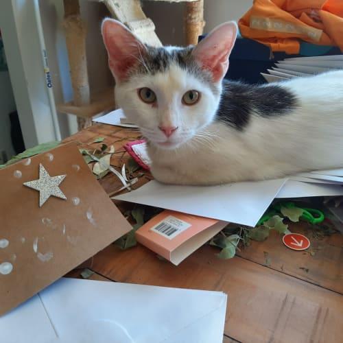 Pim - Domestic Short Hair Cat