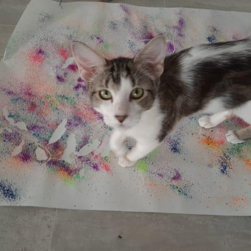 Pi - Domestic Short Hair Cat