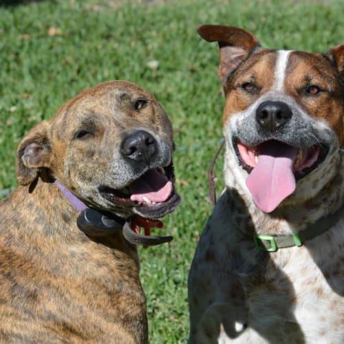 Annie & Bandit - Staffordshire Bull Terrier Dog
