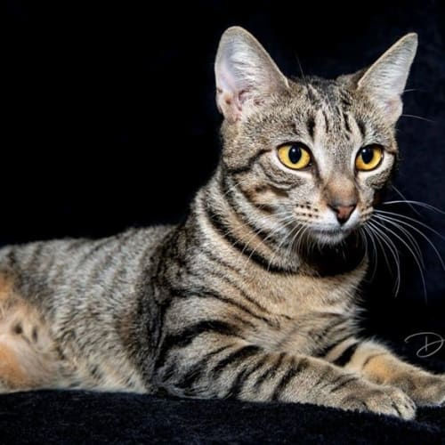 AK1938 - Cleopatra - Domestic Short Hair Cat