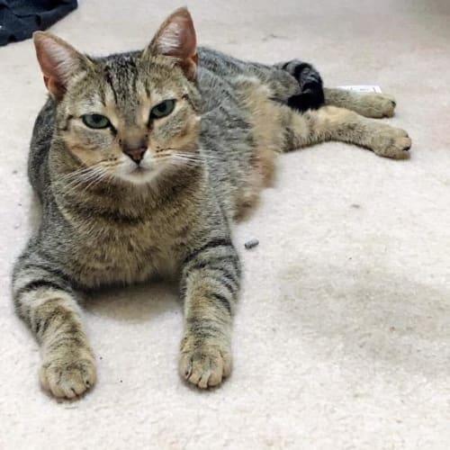 Cavani - Domestic Short Hair Cat