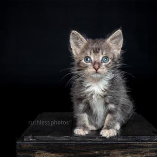 Zircon - Domestic Short Hair Cat