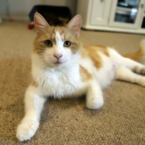 Vingette aka Vinnie 😻 - Domestic Medium Hair Cat