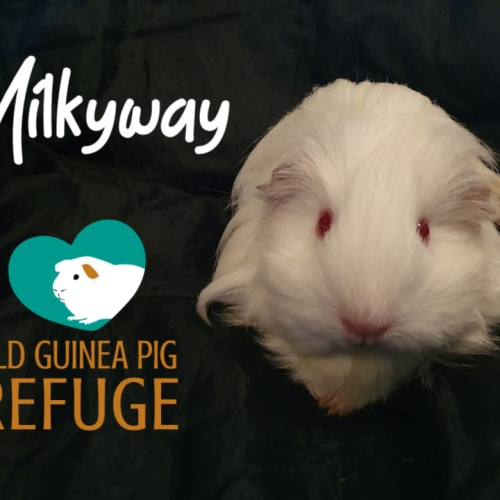 Milkyway (indoor home only) - Sheltie Guinea Pig