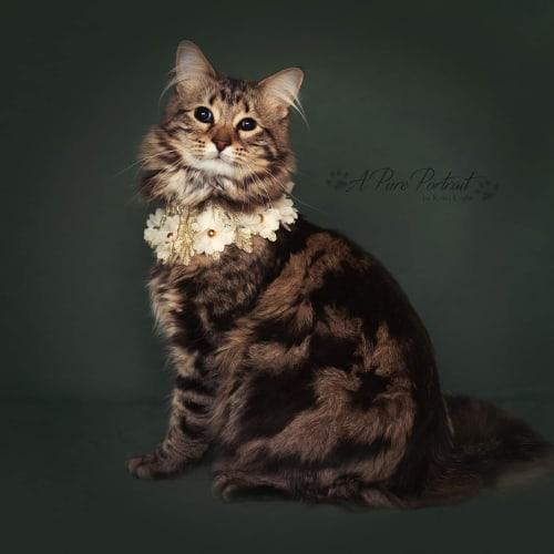Luna  - Maine Coon Cat
