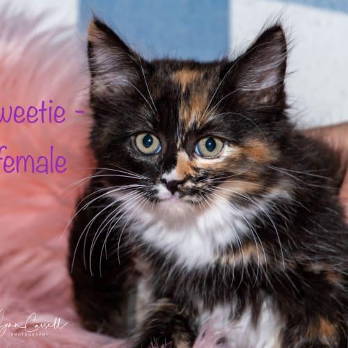 Gorgeous fluffers  - Domestic Short Hair Cat