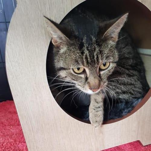 Queenie - Domestic Short Hair Cat