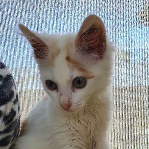 Huey - Domestic Medium Hair Cat