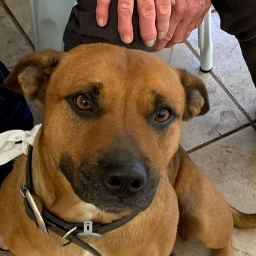 Ellie   - Staffordshire Bull Terrier Dog