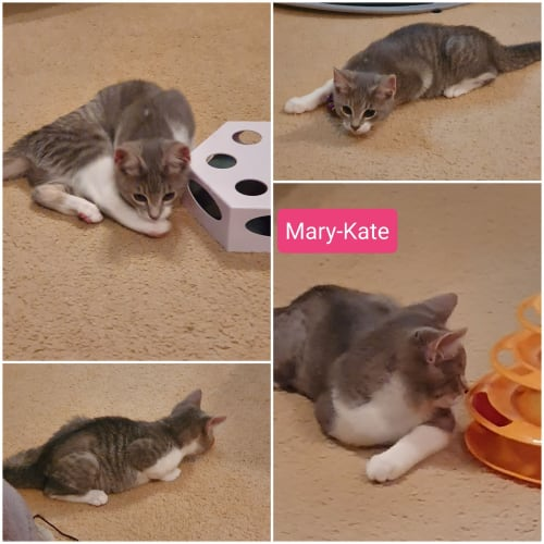Mary Kate - Domestic Short Hair Cat