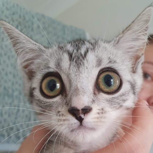 Dana  - Domestic Short Hair Cat