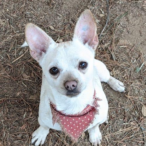 Jasper - Chihuahua Dog