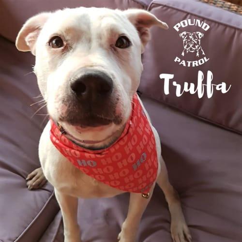 Trufa  - Staffy Dog
