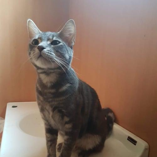 Nimbus - Domestic Short Hair Cat
