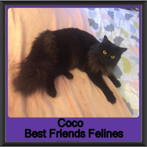 Coco  - Domestic Long Hair Cat