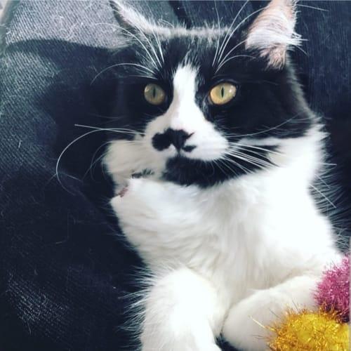 Suhki (Located in Brunswick) - Domestic Medium Hair Cat