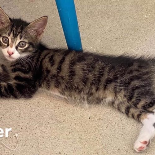 Groover - Domestic Medium Hair Cat