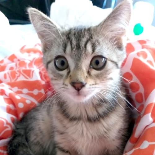 Grease Lightning - Domestic Short Hair Cat