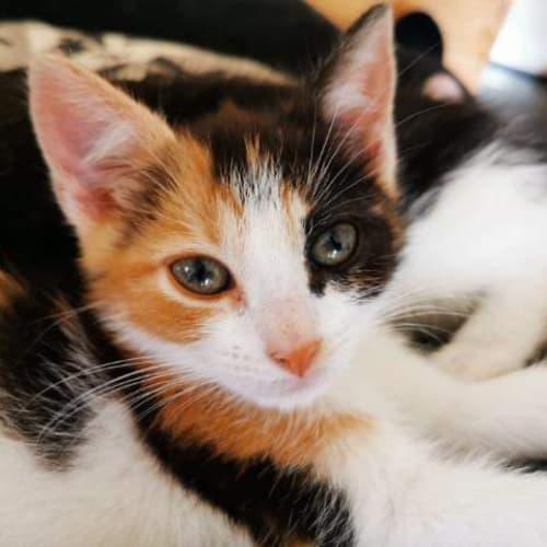 Ingrid - Domestic Short Hair Cat