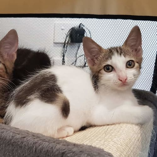 Tassie - Domestic Short Hair Cat