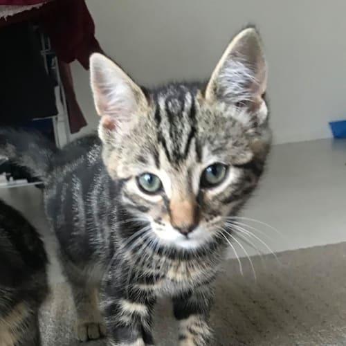 Dazza - Domestic Short Hair Cat