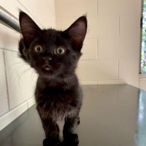 Freddy - Domestic Medium Hair Cat