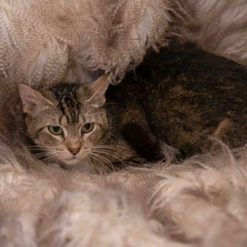 1939 - Celia - Domestic Short Hair Cat