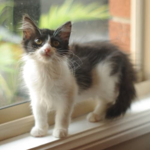 Kit Kat  - Domestic Long Hair Cat