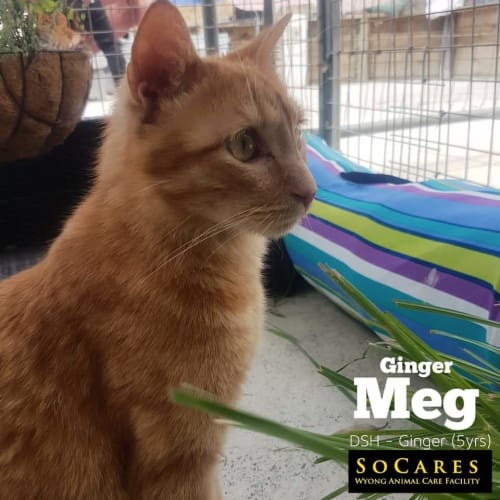 Ginger Meg - Domestic Short Hair Cat