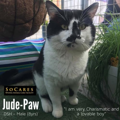 Jude Paw - Domestic Short Hair Cat
