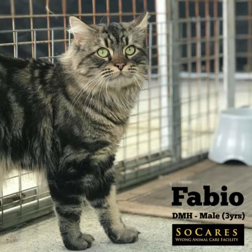 Fabio - Domestic Medium Hair Cat
