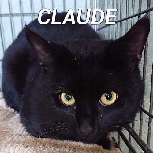 Claude - Domestic Short Hair Cat