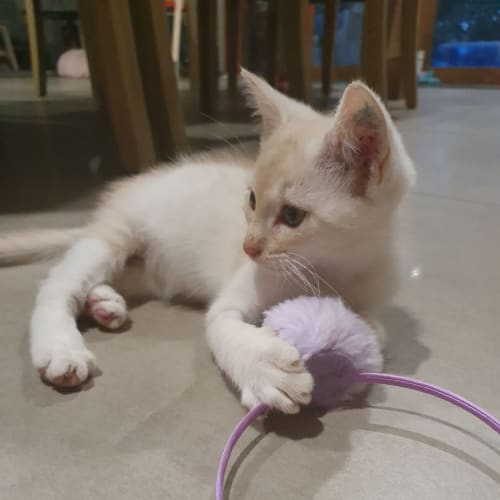 Banjo - Domestic Short Hair Cat